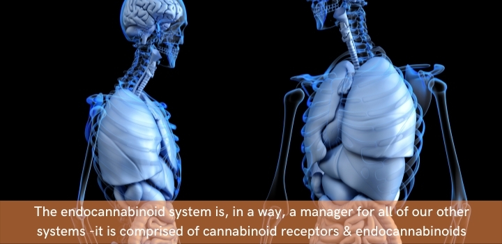 what is the endocannabinoid system made up of