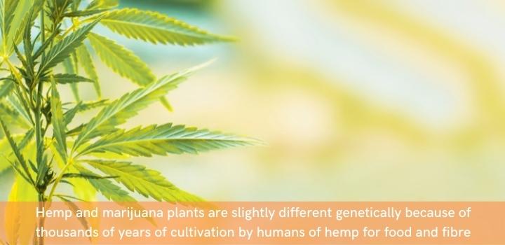 Hemp vs marijuana genetics