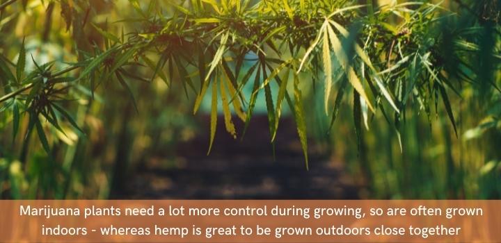 Hemp vs Marijuana growing conditions