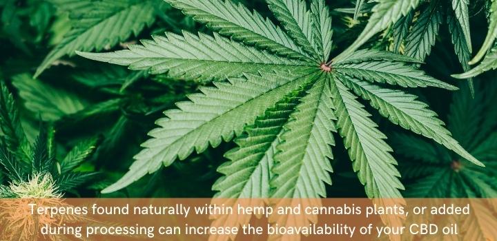 Increasing CBD bioavailability
